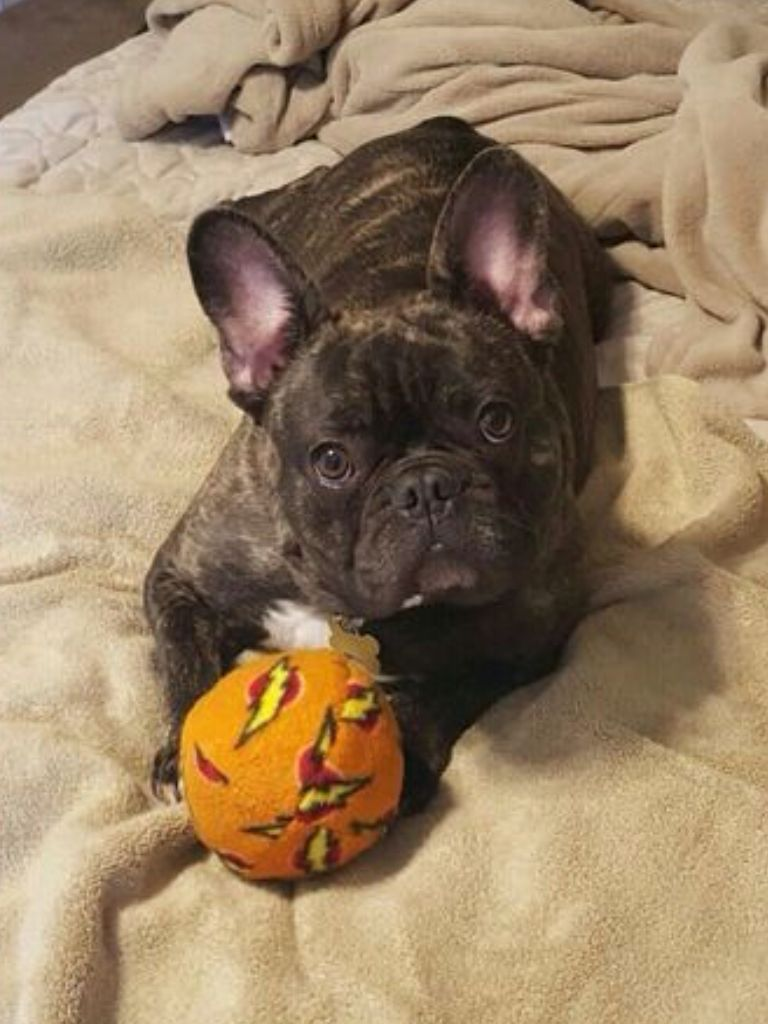 Montana The Brindle French Bulldog Brindle French Bulldog