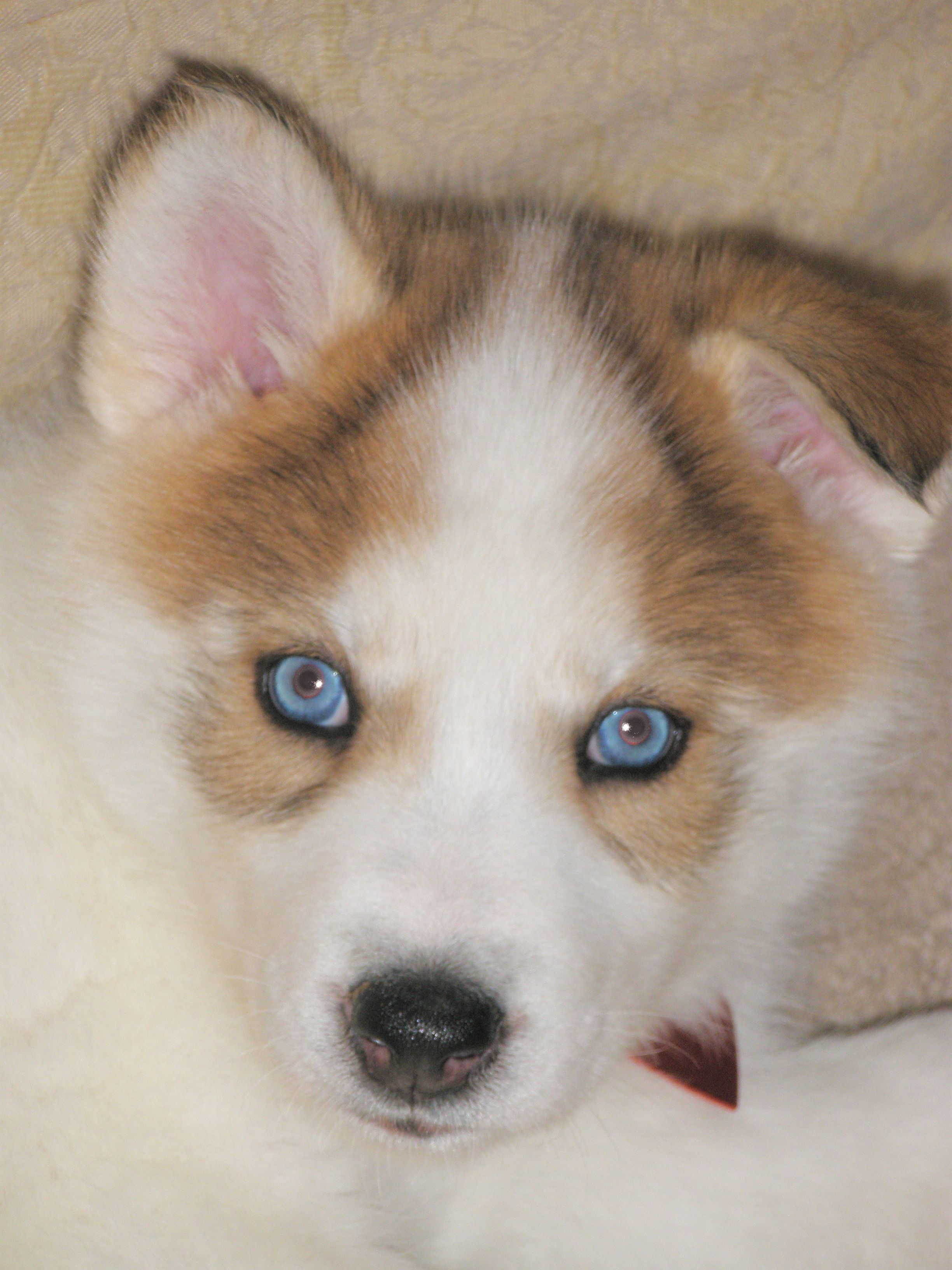 Blue Blue Eyes American Indian Dog Native American Indian Dog