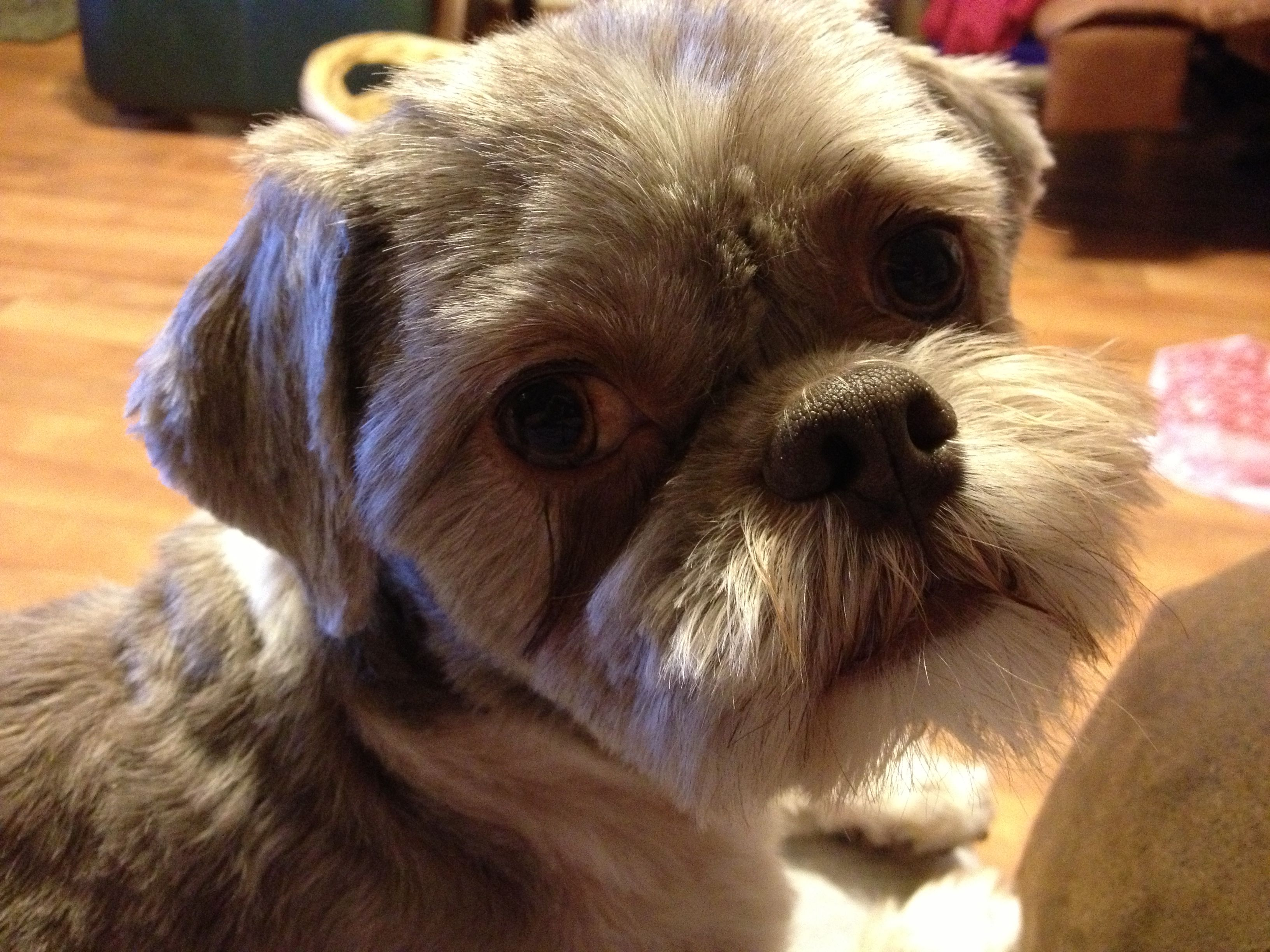 Biscuit The Shih Tzu With His New Short Hair Style So Cute