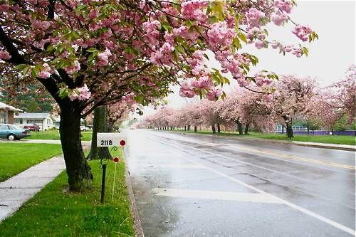 Cherry Hill Nj Jersey Shore Cherry Blossom Dc Travel Inspiration