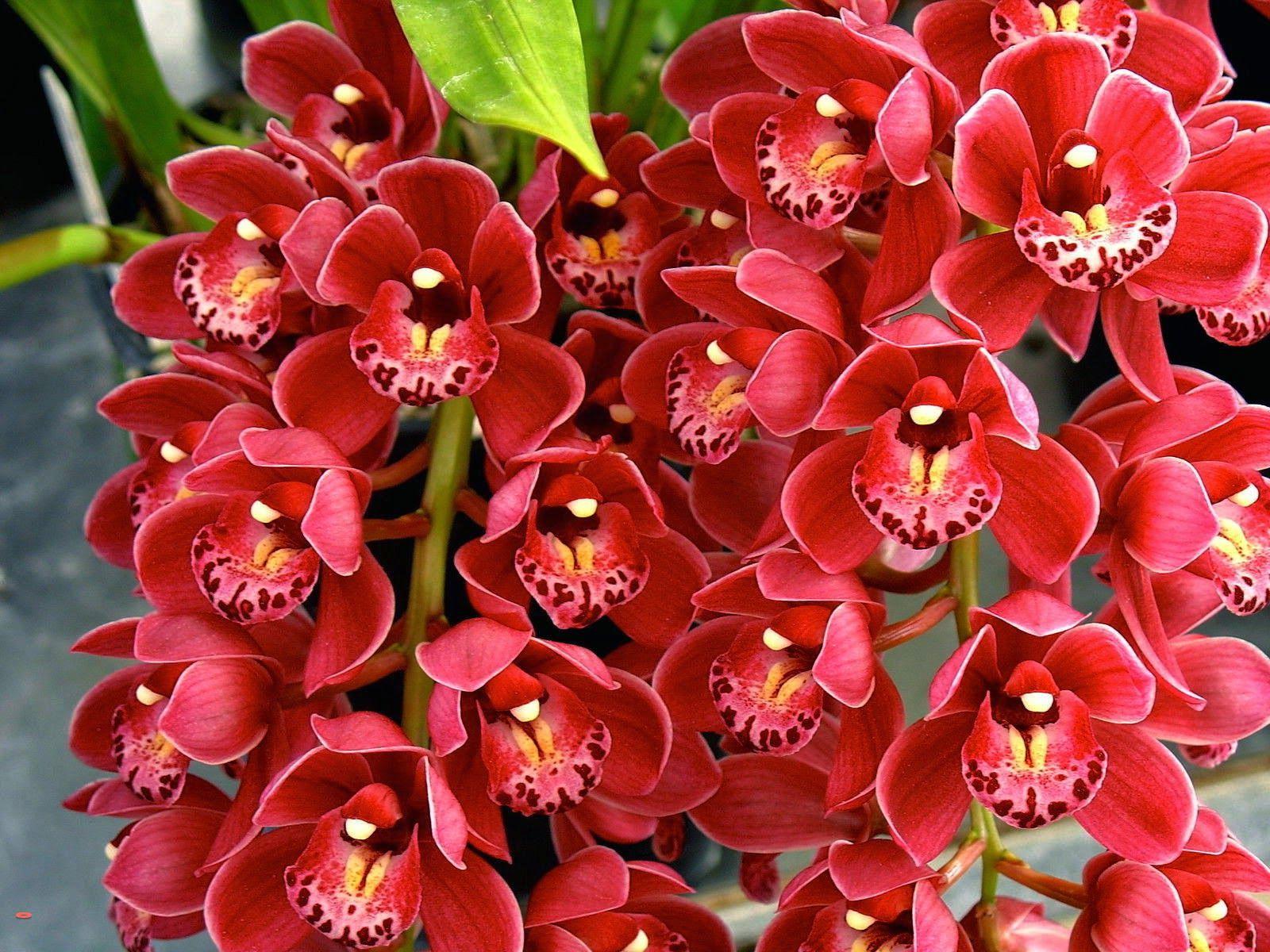 Cymbidium Orchids New Flowering Season Orchid Seeds Cymbidium Orchids Orchids