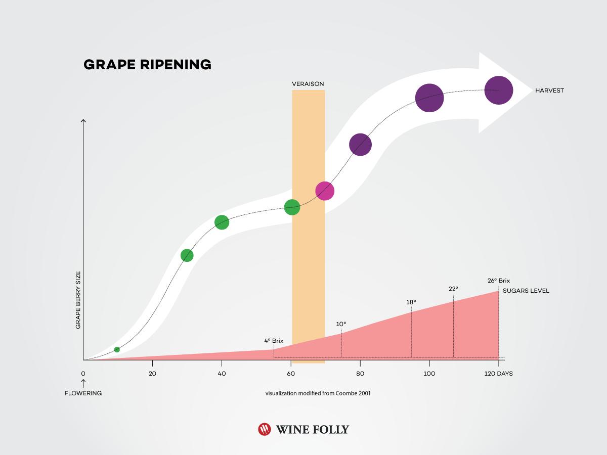 Wine Grapes Diagram - Wiring Diagram •