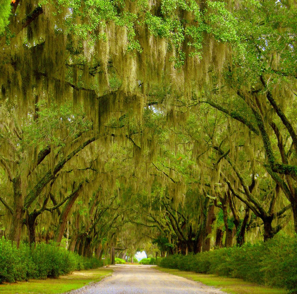 Spanish moss hangs from trees. ~ Savannah, Georgia