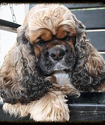 Akc Cocker Spaniel Puppies Cocker Spaniel Breeder Georgia Cocker Spaniel Puppies Cocker Spaniel Spaniel Puppies