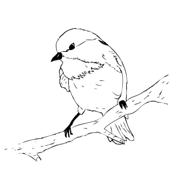 Black Capped Chickadee Coloring Page Bird Coloring Pages Chickadee Black Capped Chickadee