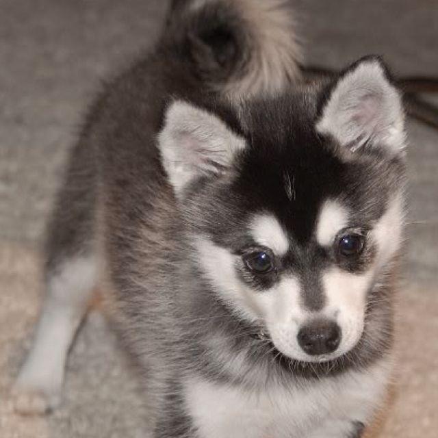 Orlando Fl Siberian Husky Meet Noctis A Dog For Adoption