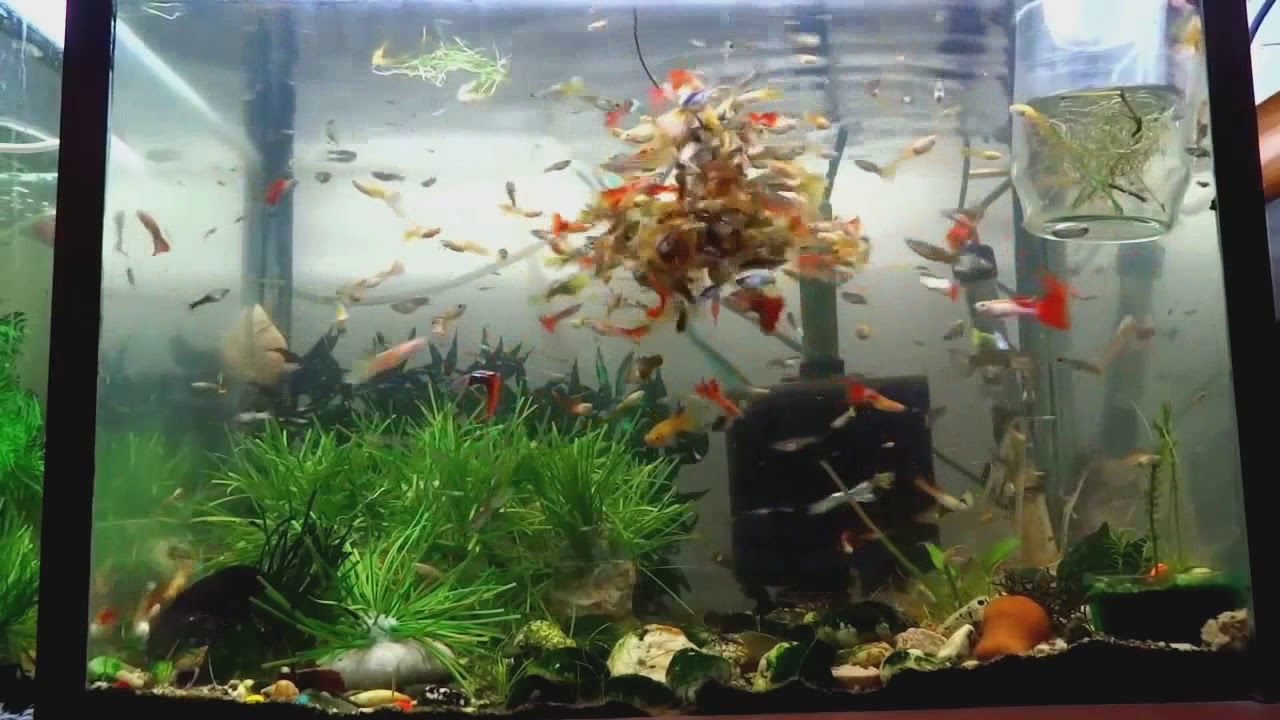 Guppy Fish Feeding Fishtankaquariums Guppies Eat Saltwaterfish Fishtankaquariums Guppy Fish Feeding Fishtankaquariums Guppy Fish Fish Breeding Fish Feed