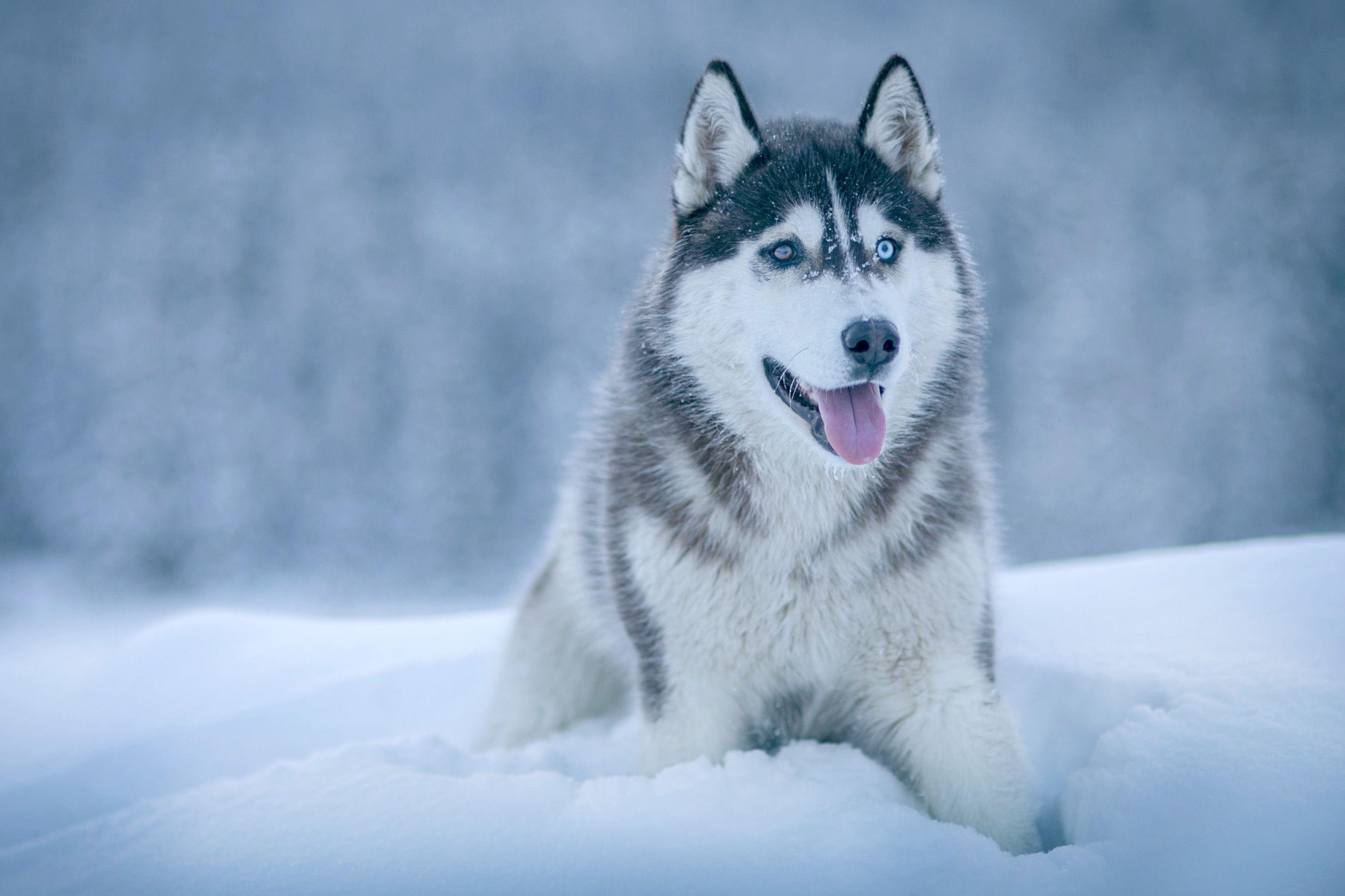 Husky Cold Dog Animal Infinityanimal Husky Dogs Siberian