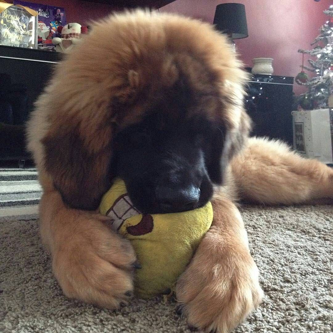 If You Like Big Dogs, You Will Love Leonbergers