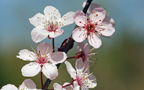 Cherry Blossoms They Are Just So Perfect Cherry Blossom Pictures Cherry Blossom Wallpaper Blossom Flower