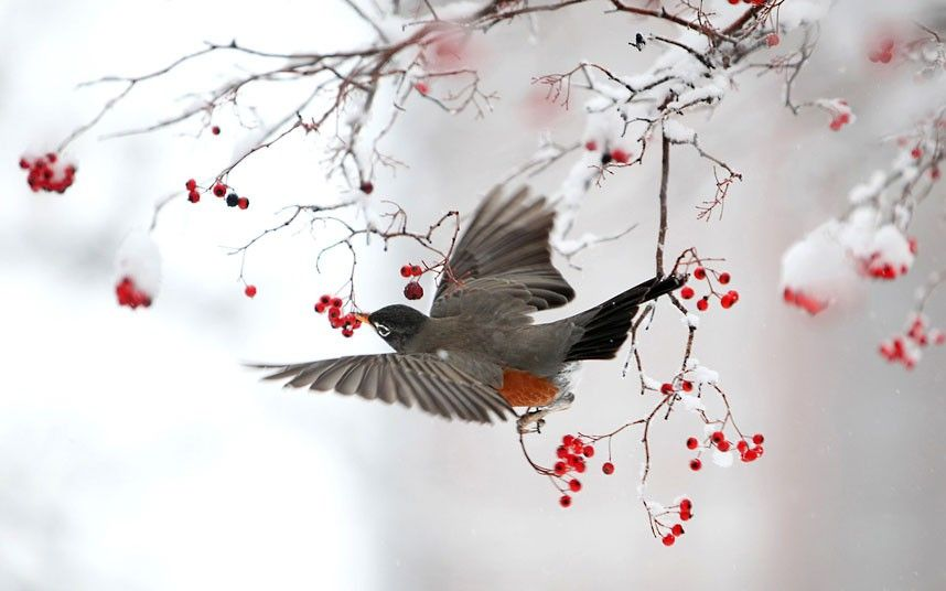 A hungry robin dines on berries in Ohio.