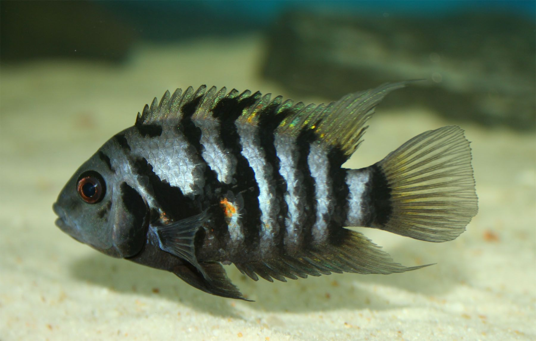 Freshwater aquarium fish information - Convict Cichlid Fish Information Of Black Convict Cichlids Pink Convict Cichlids Tips Of Breeding And Caring For Them