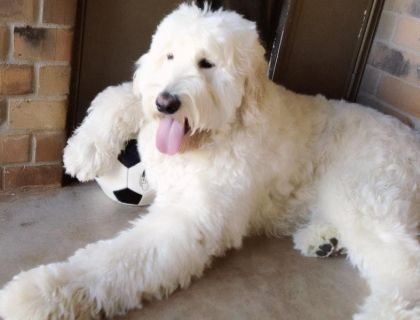 This Norman he's an F1 English Goldendoodle that lives ...