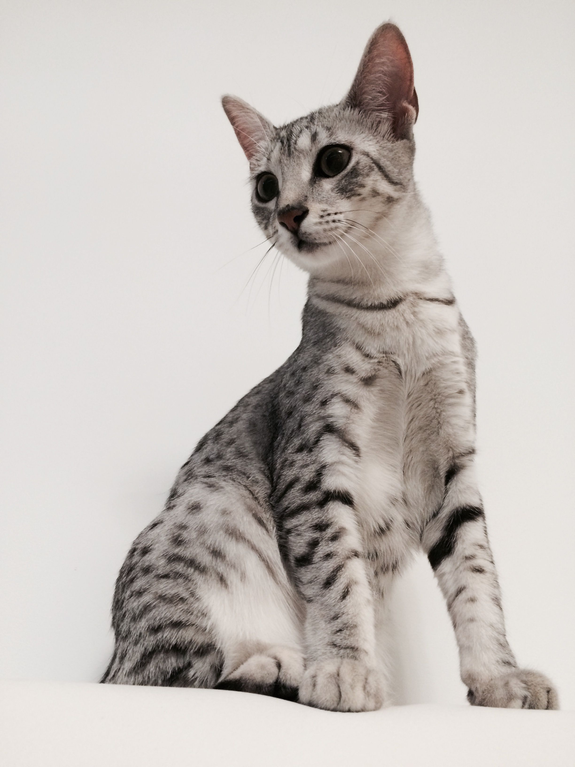 Egyptian Mau Cat | Cats | Pinterest | Egyptian mau and Cat