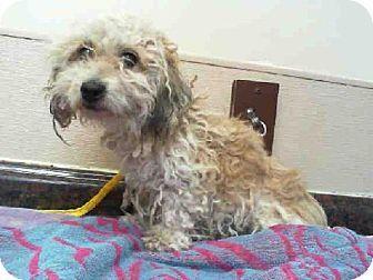 Las Vegas Nv Poodle Miniature Mix Meet Lu Chen A Dog For Adoption Animal Activist Rescue Puppies Kitten Adoption