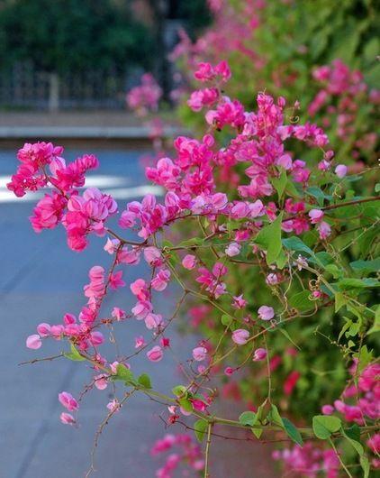 Queen S Wreath Vine Antigonon Leptopus Is A Rapid Grower Is Drought Tolerant Once Establish Backyard Flowers Garden Backyard Flowers Drought Tolerant Garden