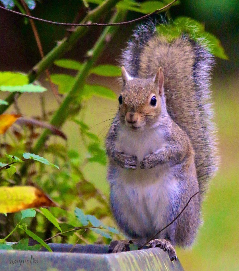 Texas Squirrel by FallOut99 on DeviantArt Squirrel