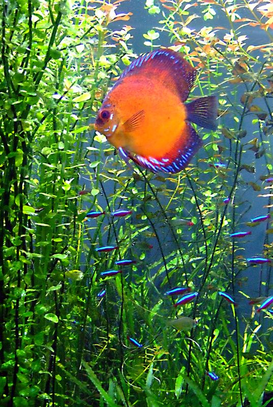 Neons And Discus Aquarium Universe Photo Gallery Page 5 In