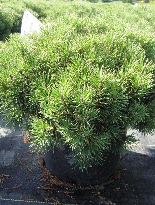 BOTANICAL NAME Pinus mugo 'Mops'DESCRIPTION Dwarf, dense