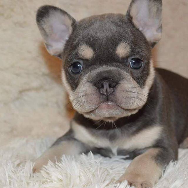 Those Eyebrows Cute French Bulldog French Bulldog Puppies Cute