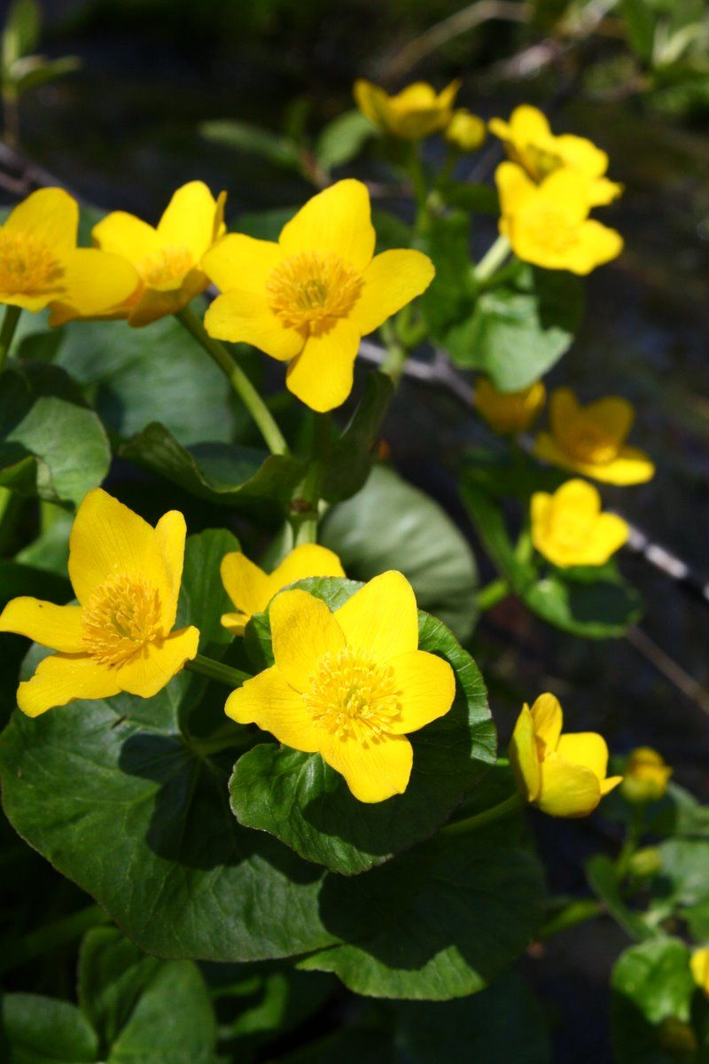 Marsh Marigolds In My Whiskey Barrel Water Garden Gardening