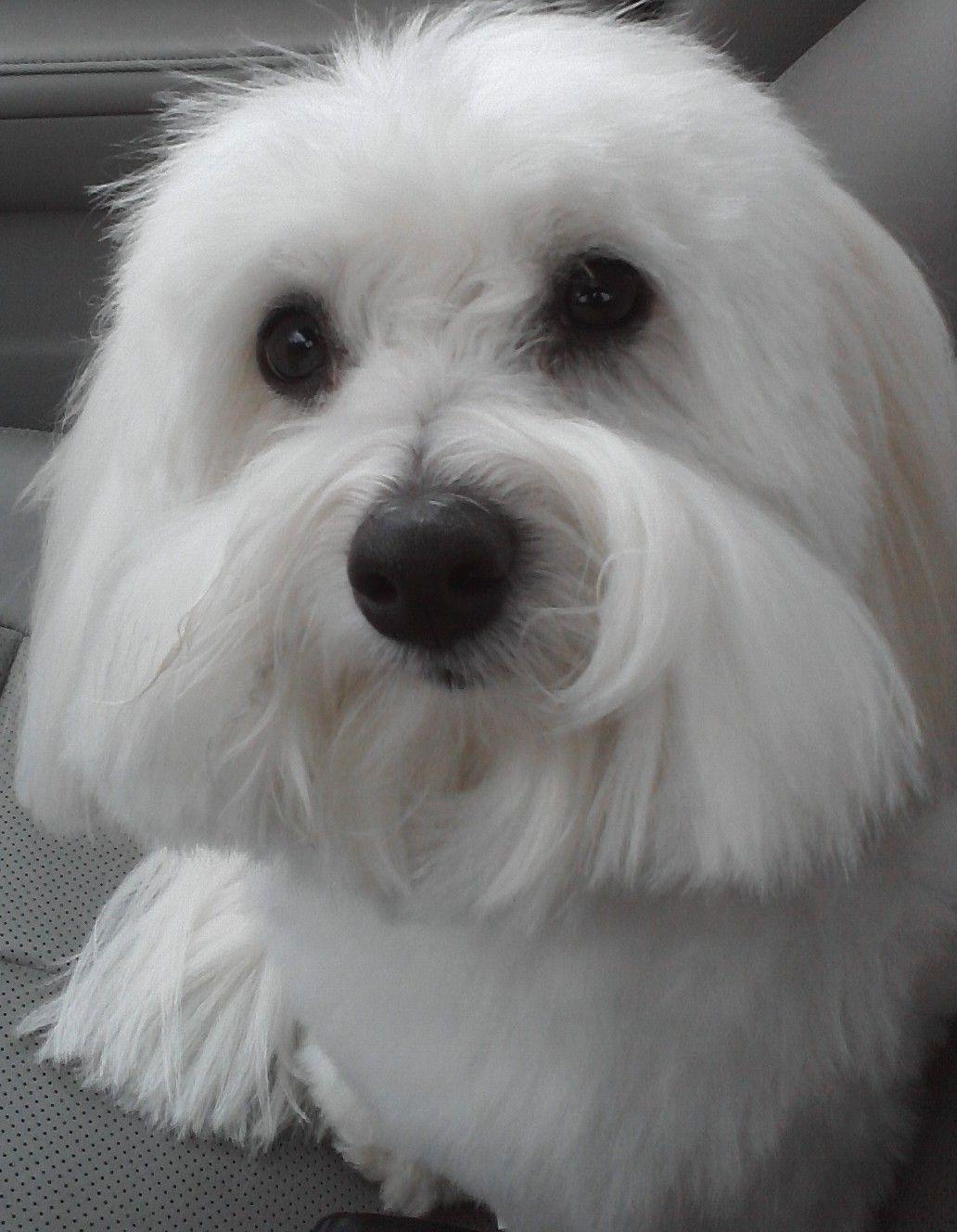 Coton De Tulear Looks Like Cooper Coton De Tulear Dogs Coton De