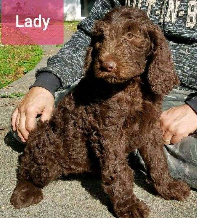 Lady F2b Female Labradoodle 1100 Labradoodle Labradoodle Puppies For Sale Puppies For Sale