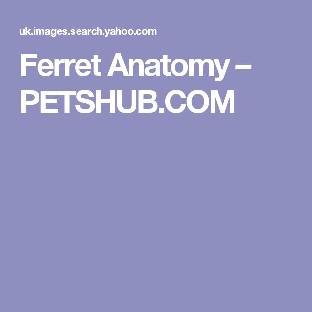 Ferret Anatomy – PETSHUB.COM | FERRET ANATOMY | Pinterest | Ferret