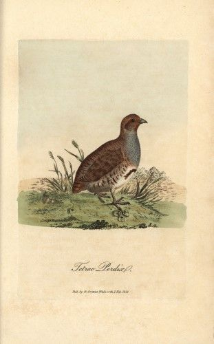 Best Grey Or English Partridge Tetrao Perdix Perdix Perdix 400 x 300