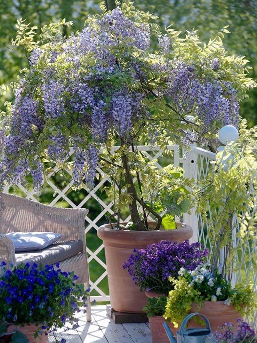 Buy Dwarf Wisteria Online Hayloft Plants Lavender Garden Wisteria Tree Plants