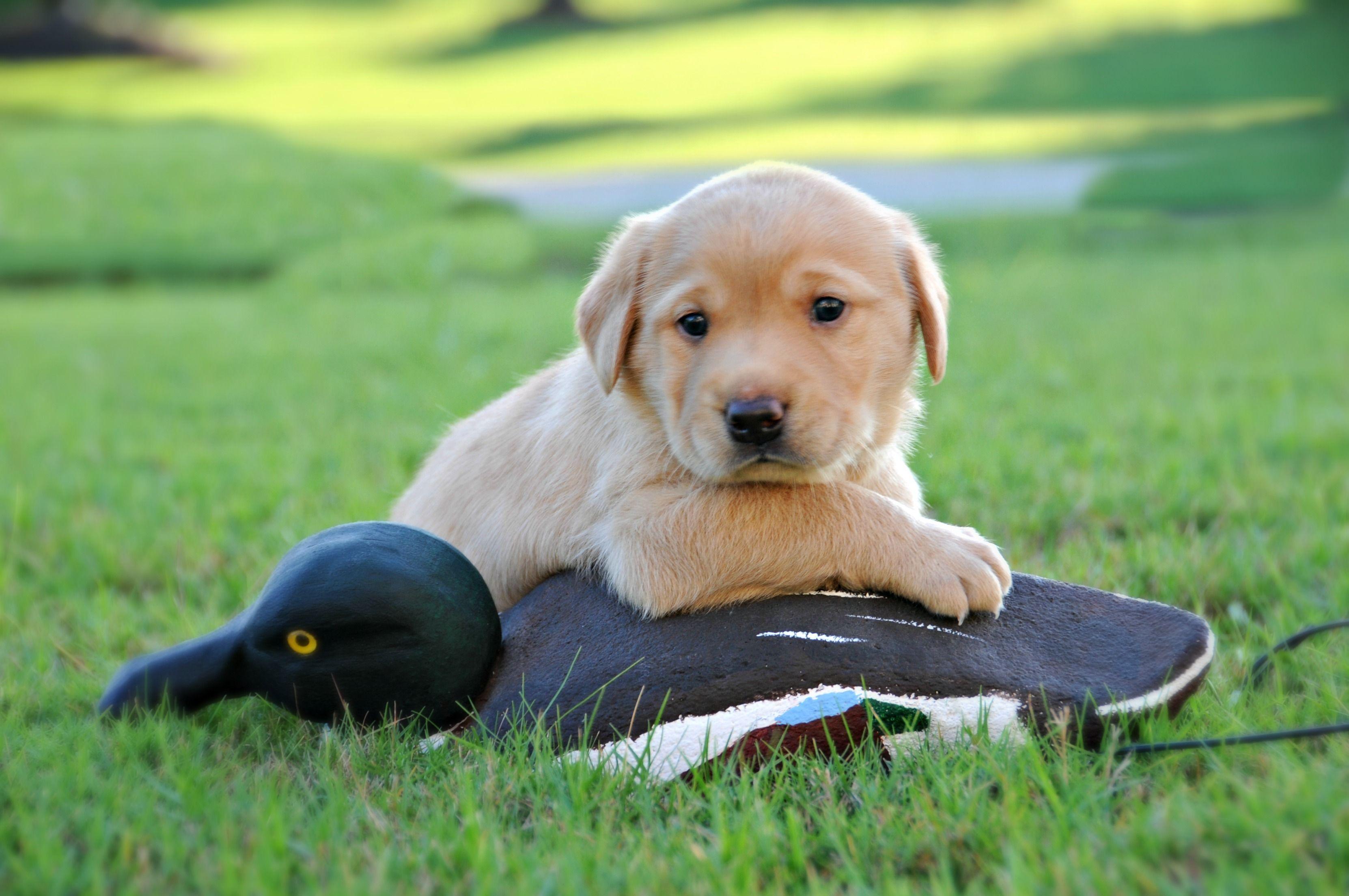 Big Hoss Dreamin Of His First Duck Hunt Bonny S Labrador