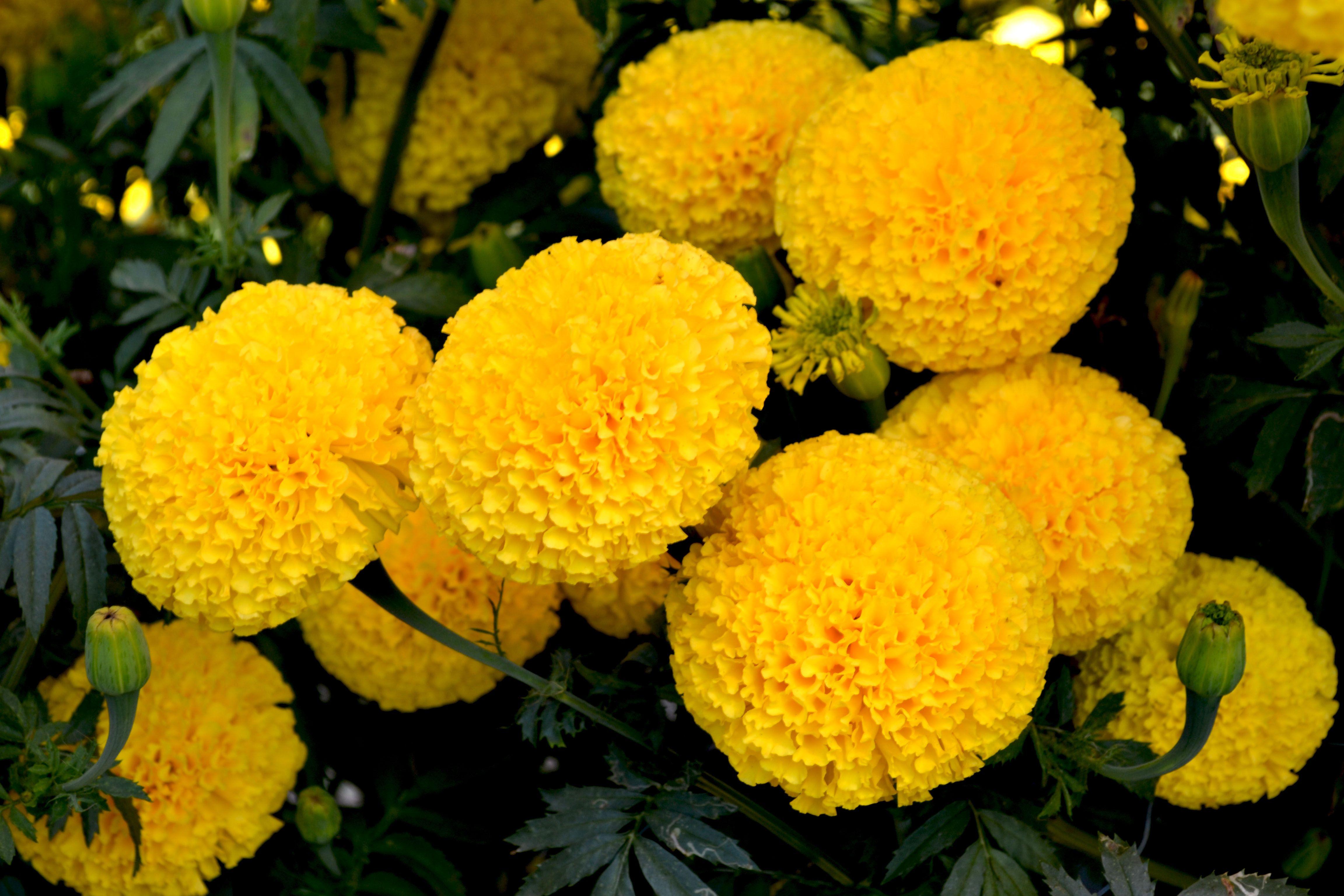 Marigolds Flower (Có hình ảnh) Hoa
