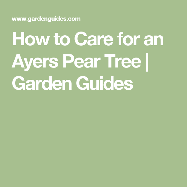 How To Care For An Ayers Pear Tree Garden Guides Pear Trees