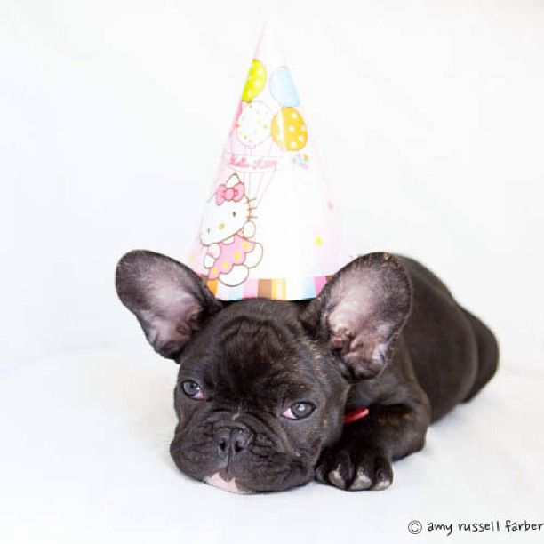 Batpig Me Tumble It Photo French Bulldog Rescue Network