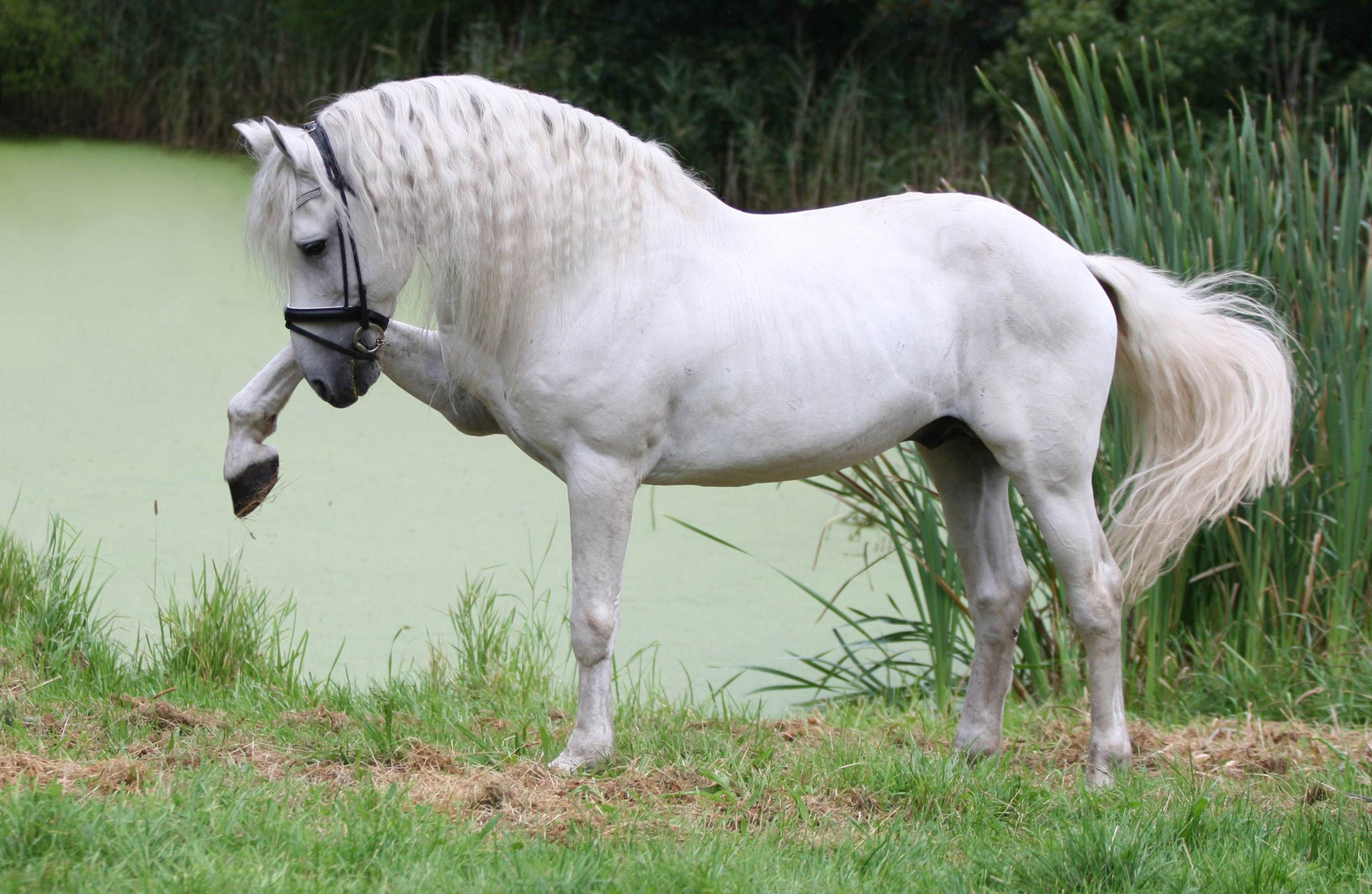 Magnificent white andalusian horse wallpaper hd wallpapers for Wallpaper mare hd