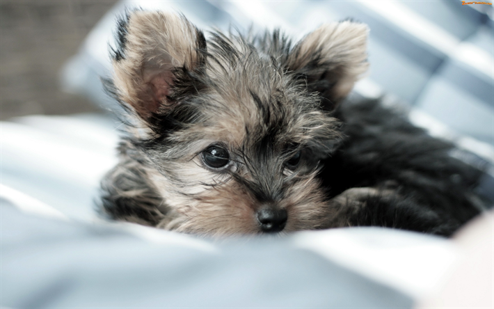 Download Wallpapers Gray Yorkie Close Up Yorkshire Terrier Cute Dog Dogs Yorkie Cute Animal Yorkshire Dog Yorkshire Terrier Puppies Yorkshire Terrier Dog