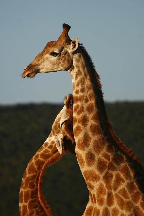 Twitter / NatGeoPictures: Caricias de jirafa. ...