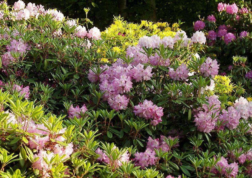 rhododendronhybriden bl hende immergr ne heckenpflanze als hecke und ganz oben auf der. Black Bedroom Furniture Sets. Home Design Ideas