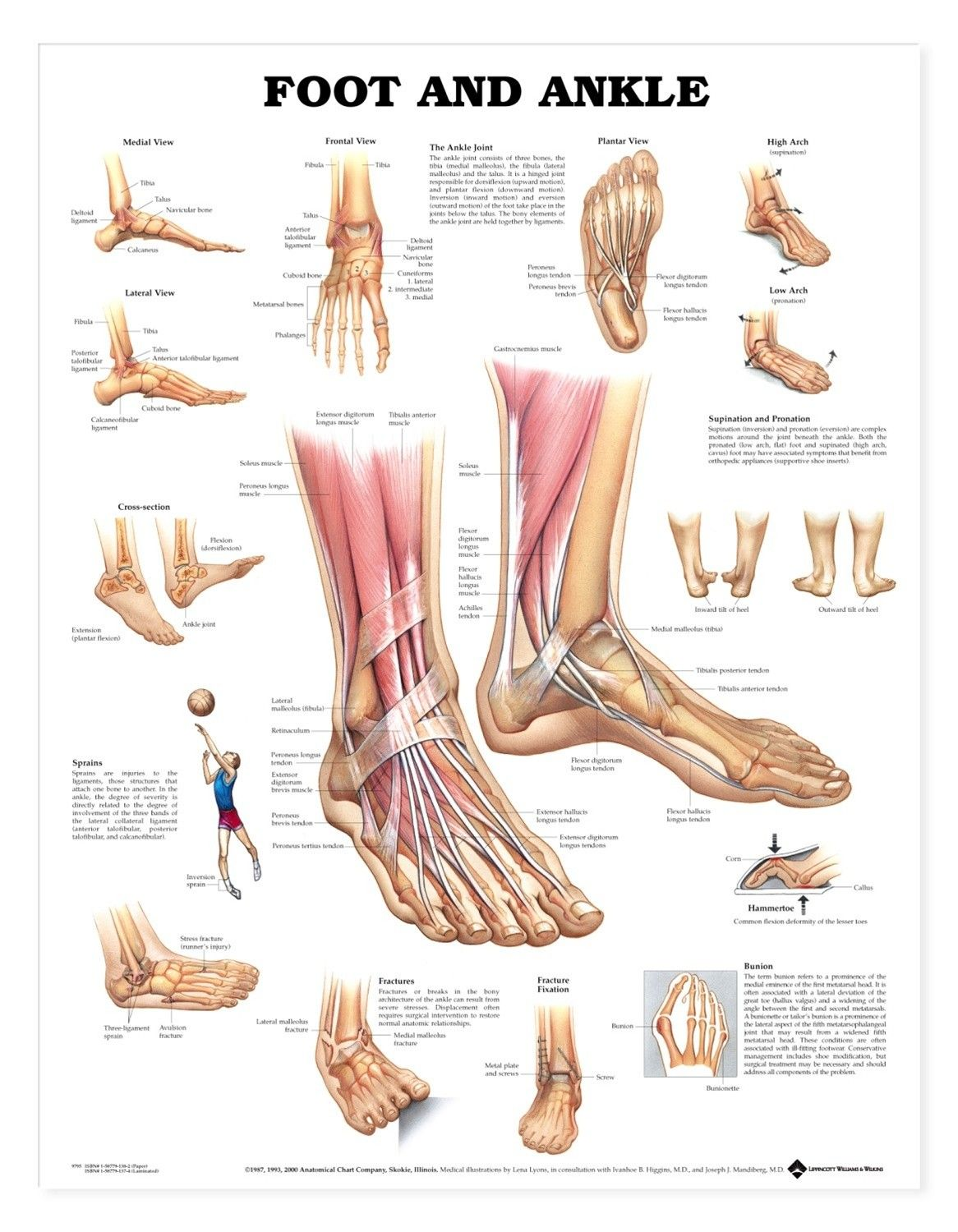 Image Result For Leg Anatomy Bones Bicycleing And The Body Ankle