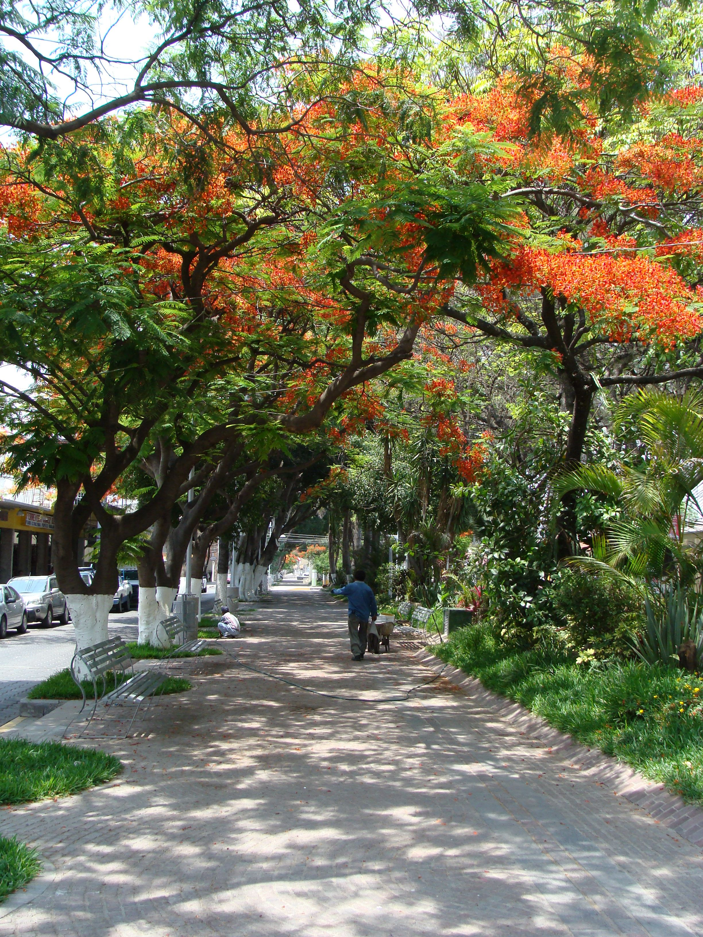 Framboyanes del Paseo Hidalgo, Tehuacán   Arboles   Pinterest   Paseos