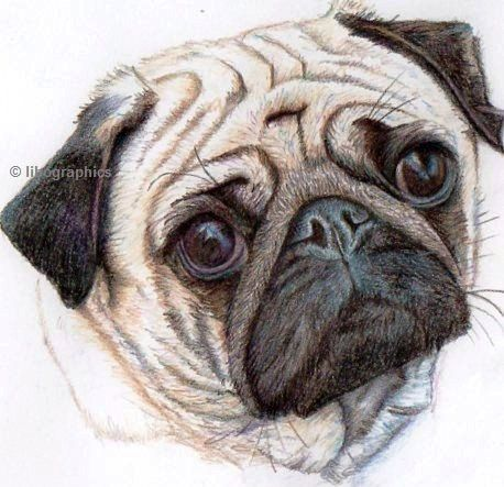 Pug Dog Drawing  in coloured pencil