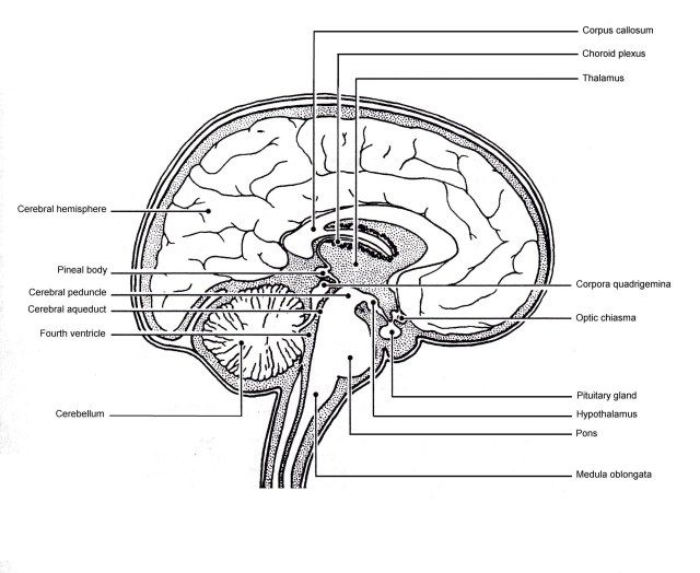 Labeled Picture Of The Human Brain Koibana Info Brain Anatomy Human Brain Brain Parts And Functions