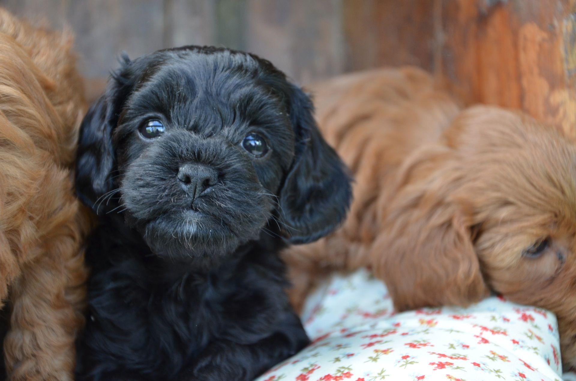 Little Black Cavoodle Cute Dogs Breeds Teacup Dog Breeds Puppies