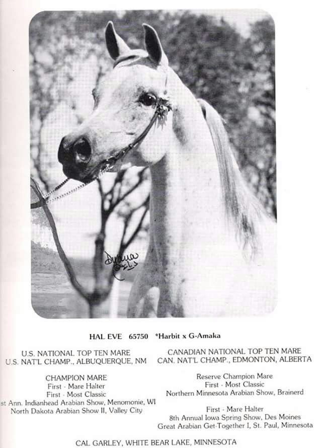HAL EVE (*Harbit x G-Amaka) 1970 grey mare. US National Top Ten Mare ...