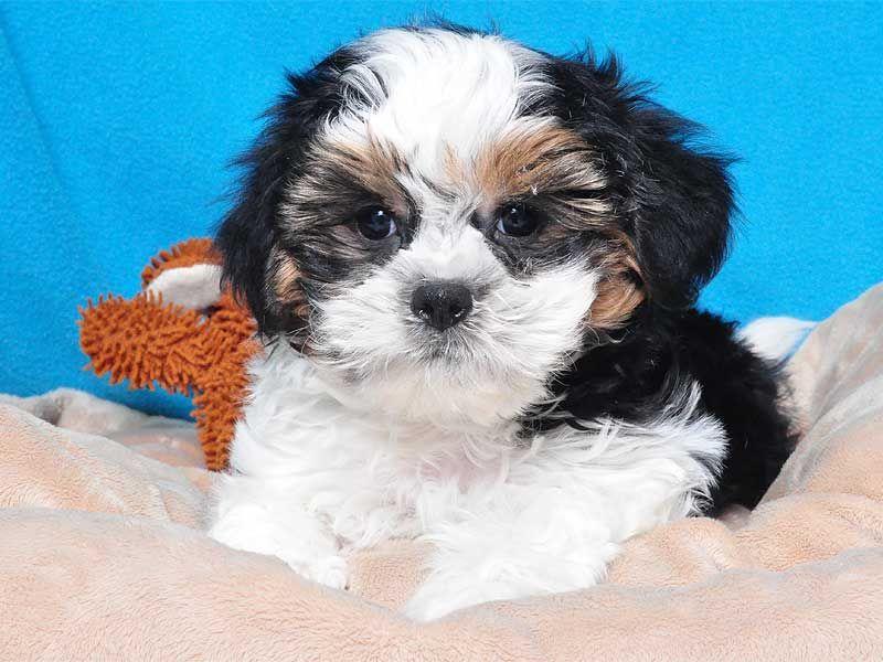 Shih Tzu Bichon Mix Aka Teddy Bear Puppies Purebred Dogs