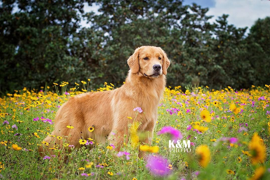 Boca Gold S Let Freedom Bling Boss 7 4 2014 Golden Retriever