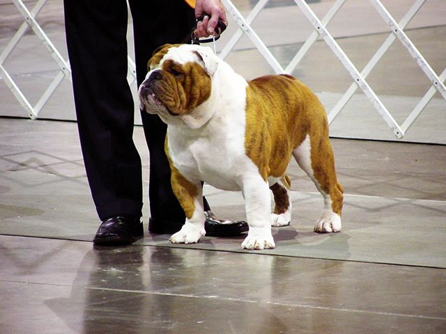 Bulldog Studs Of Topline Bulldogs Akc Champion English Bulldog