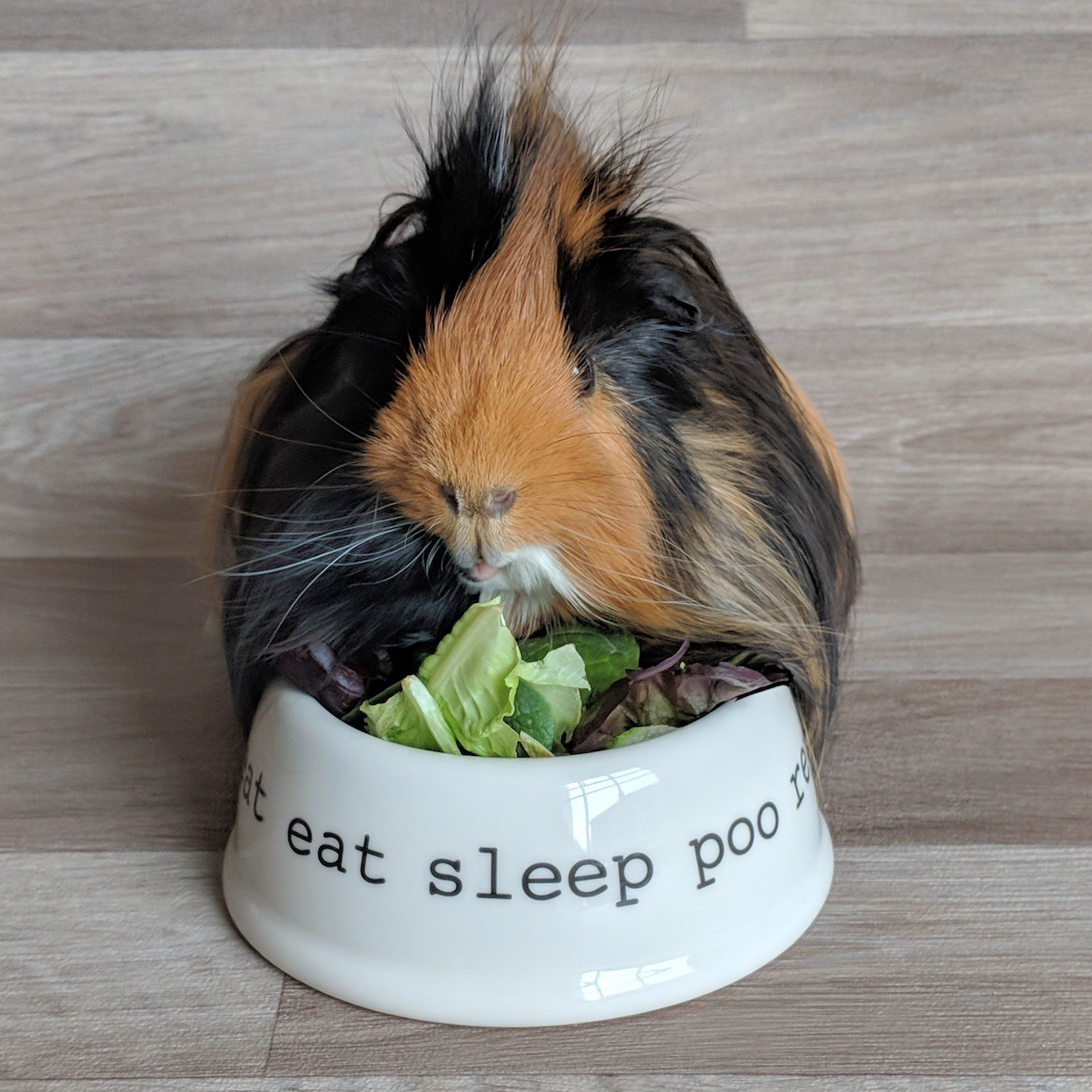 Pin on Guinea Pigs!