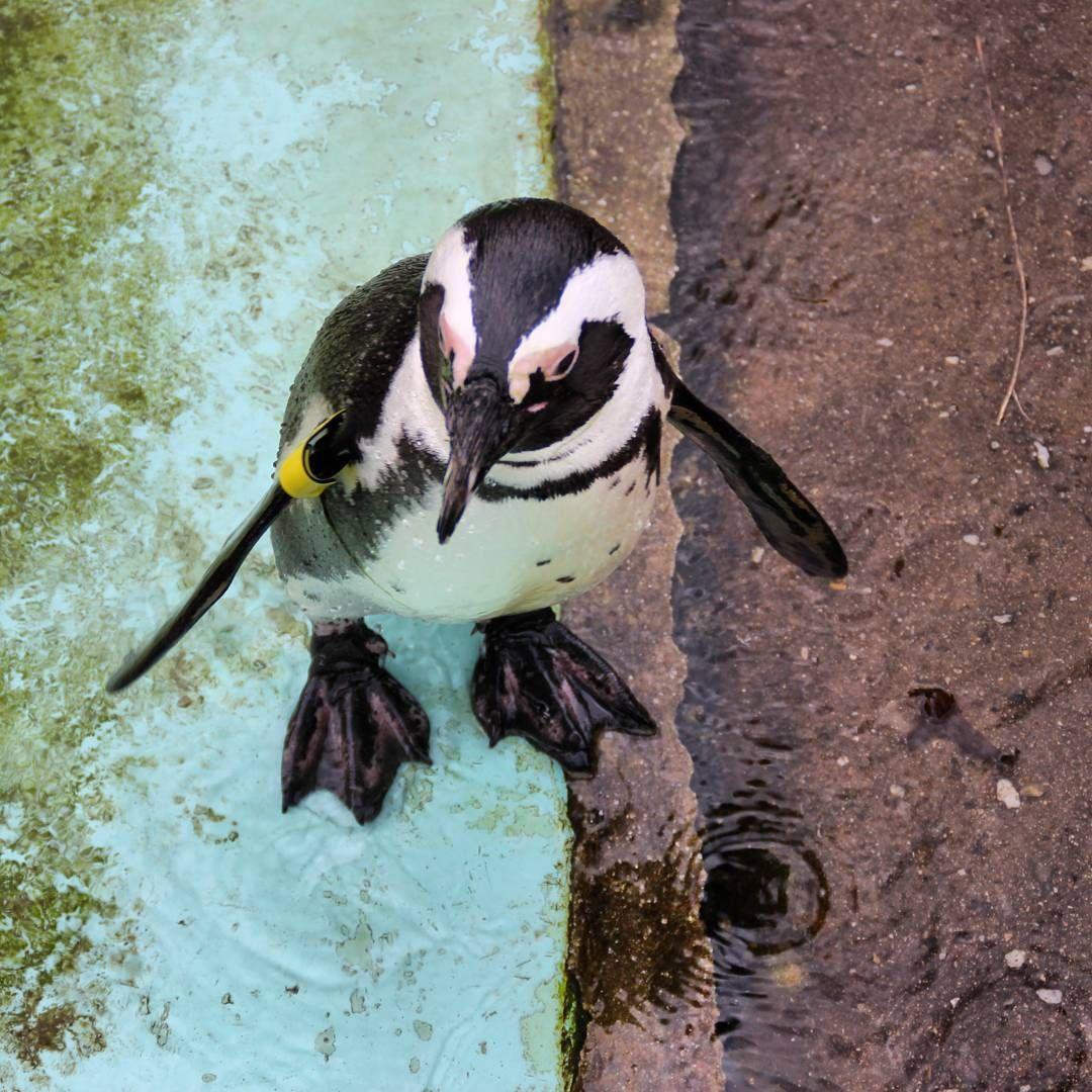 pinguin im zooleipzig watscheltier Zoological garden