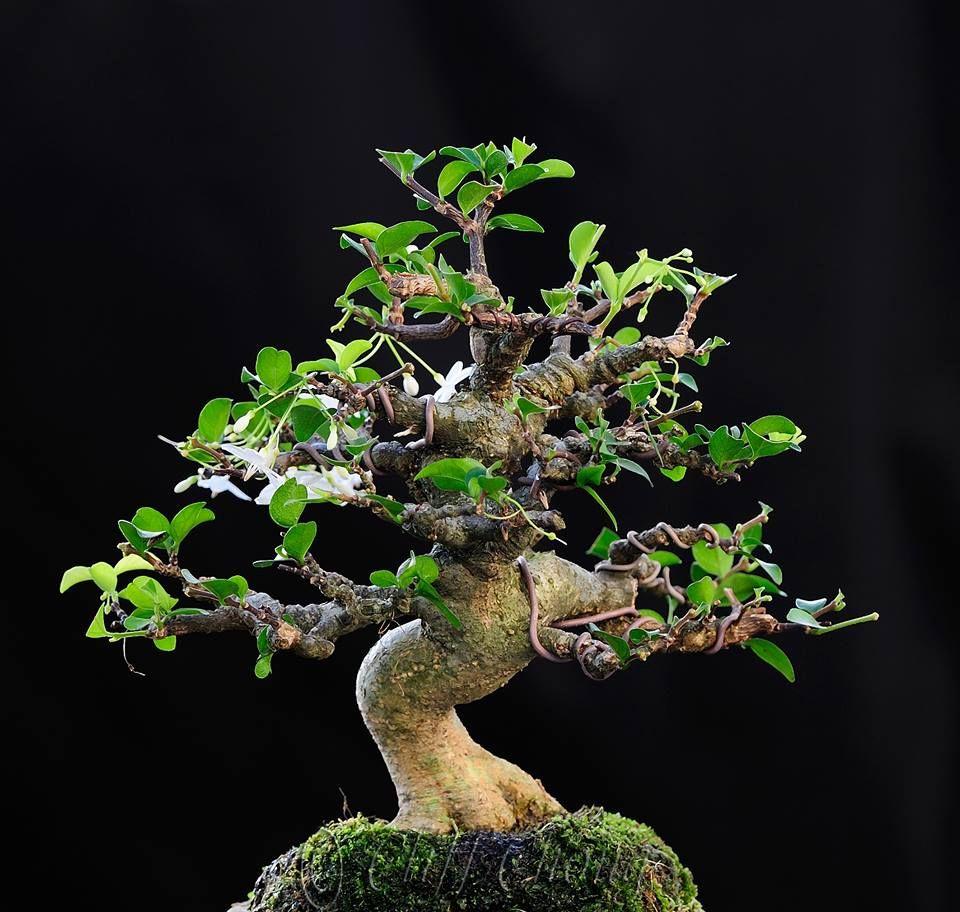 10 Bonsai Wrightia Religiosa Ideas Bonsai Bonsai Tree Tree